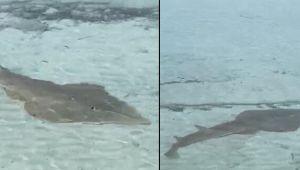 Prof. Dr. Akyol'dan Ege'de görülen kemane balığı için 'zararsız' açıklaması